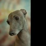 Italian Greyhound new photos