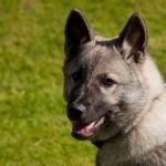 Norwegian Elkhound image