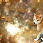 Shiba Inu new photos