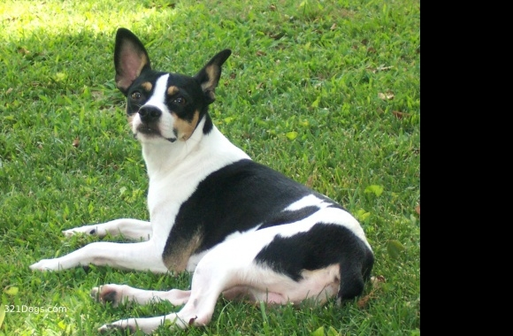 Decker Rat Terrier