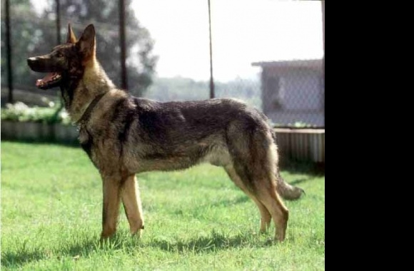 Kunming Wolfdog wallpapers high quality