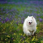 American Eskimo Dog pics