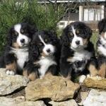 Appenzeller Sennenhund pics