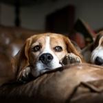 Beagle hd