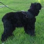 Black Russian Terrier download