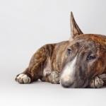 Bull and Terrier wallpapers for desktop