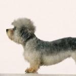 Dandie Dinmont Terrier high definition wallpapers