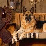 German Shepherd Dog wallpapers