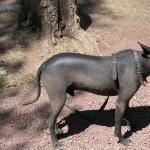 Mexican Hairless Dog cute