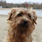 Norfolk Terrier photo