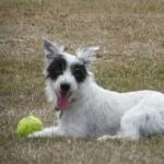 Parson Russell Terrier cute