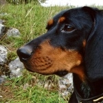 Austrian Black and Tan Hound widescreen