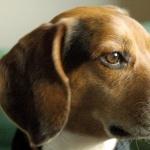 Beagle-Harrier full hd