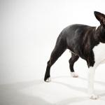 Boston Terrier hd wallpaper