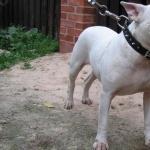 Bull Terrier photo