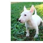 Bull Terrier Miniature new wallpaper