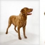 Chesapeake Bay Retriever images