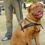 Dogue de Bordeaux free