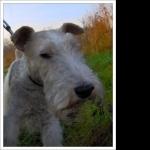 Fox Terrier widescreen