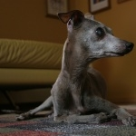 Italian Greyhound high quality wallpapers