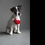 Jack Russell Terrier pics