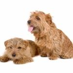 Norfolk Terrier new wallpaper