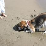 Beagle-Harrier free download