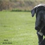 Neapolitan Mastiff photo