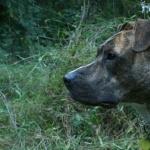 American Pit Bull Terrier desktop