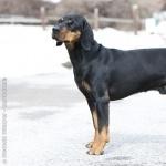 Austrian Black and Tan Hound breed