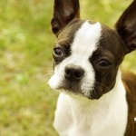 Boston Terrier desktop
