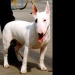 Bull Terrier 2016
