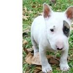 Bull Terrier Miniature free