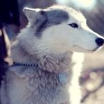 Husky photos