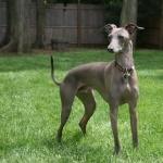 Italian Greyhound pics
