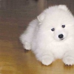 Japanese Spitz new wallpaper