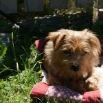 Norfolk Terrier download
