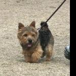 Norwich Terrier hd pics