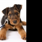 Airedale Terrier 1080p