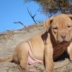 American Pit Bull Terrier full hd