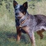 Australian Stumpy Tail Cattle Dog full hd
