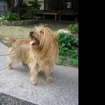 Australian Terrier hd pics