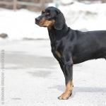 Austrian Black and Tan Hound photos