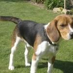 Beagle-Harrier photos