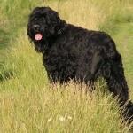 Black Russian Terrier hd desktop