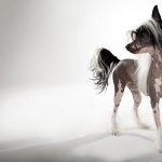 Chinese Crested Dog new wallpapers