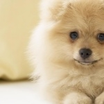 German Spitz hd pics