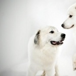 Great Pyrenees hd pics