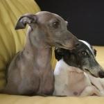 Italian Greyhound hd photos