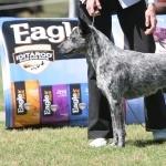 Australian Stumpy Tail Cattle Dog free download